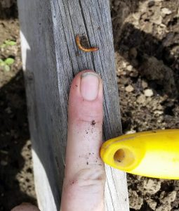 Wireworms will drill holes into potatoes, tomatoes,
