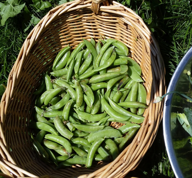 At first appearance, the vines might seem to have no peas on them. Actually, there's a huge bounty every day.