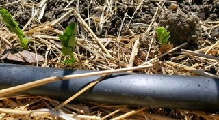 Tiny pea shoots coming up out of the earth near an irrigation drip hose